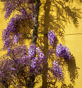 Wisteria vine and shadow. Bainbridge Island, WA.