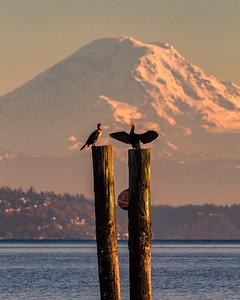 Cormorants at sunset this evening.