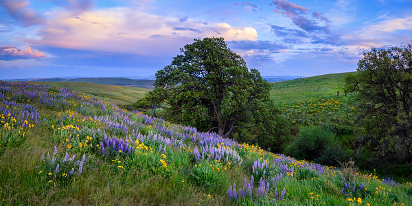 Panoramic image of wildflower-strewn hills in Columbia Hills State Park, Washington