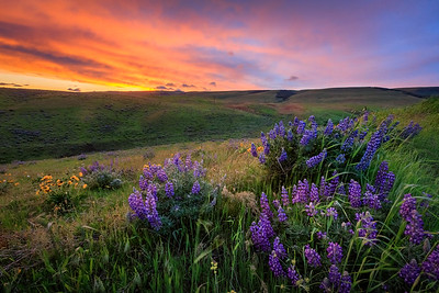 Wildflowers and rolling hills at sunset in Columbia Hills State Park.