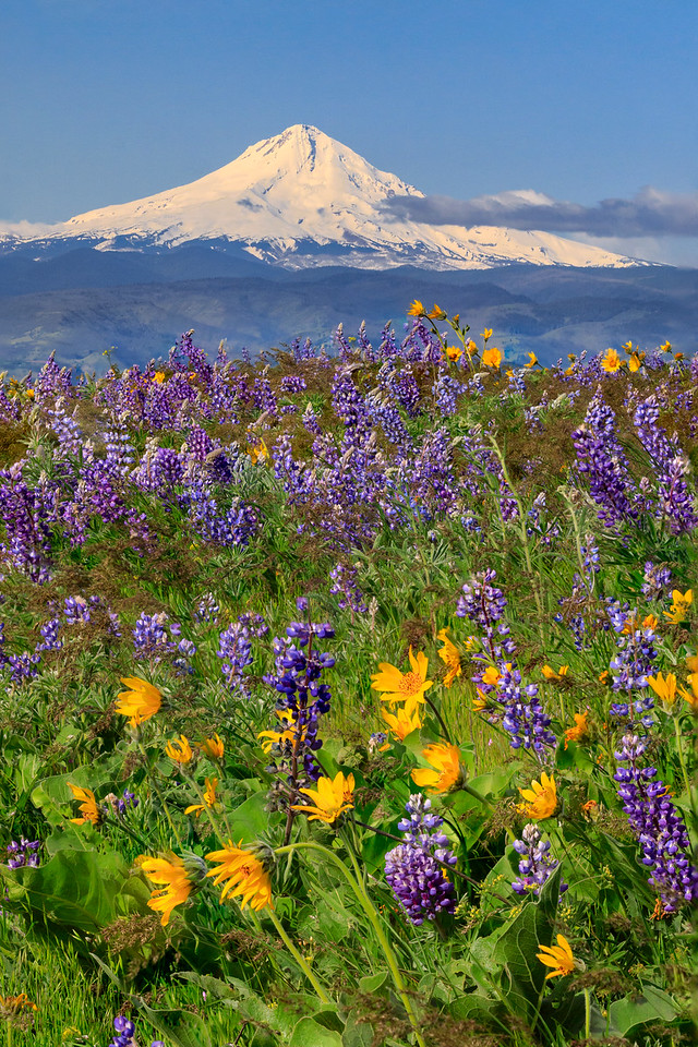 Mount Hood and wildflowers, Columbia Hills State Park, Washington