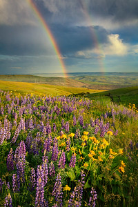 After the thunderstorm - rainbows, lupine, and balsamroot...