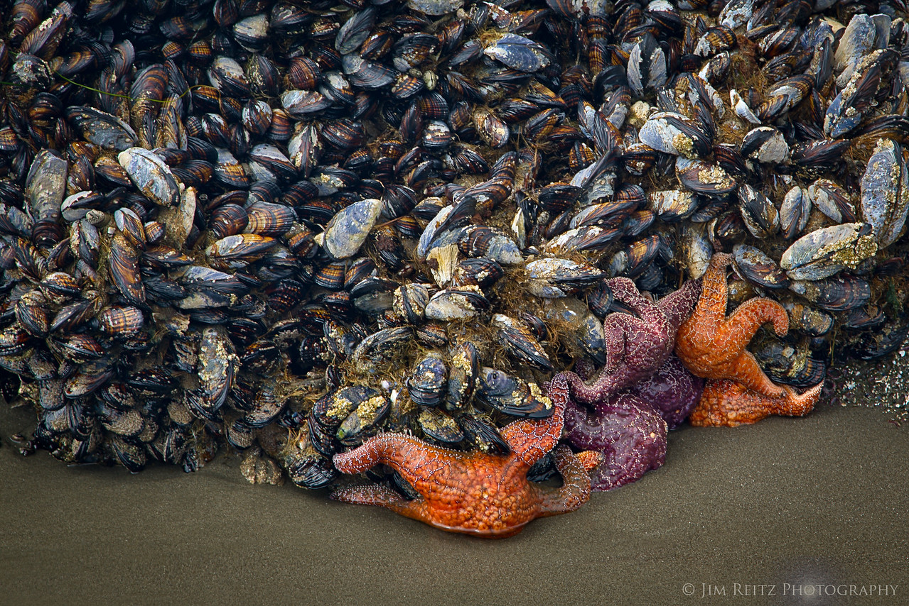 Mussels & sea stars, Second Beach - La Push, WA