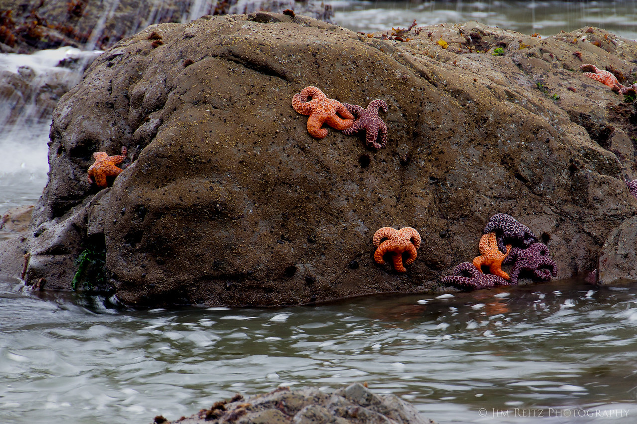 Starfish at low tide, Rialto Beach, La Push, WA