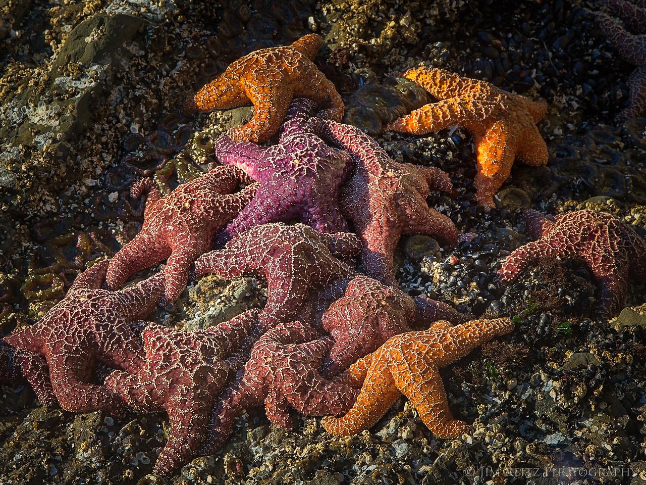 Starfish - Second Beach, Olympic National Park.