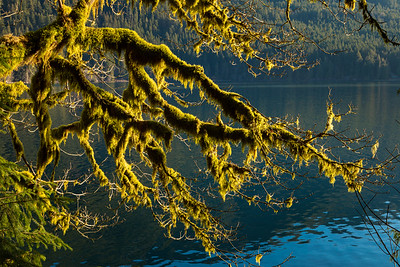 Morning sun makes moss-covered trees glow brilliantly - along Lake Crescent in Olympic National Park.