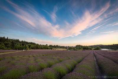 Lavender fields on San Juan Island, Washington