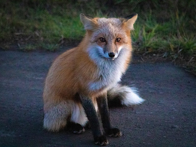 Red fox begging for food along a road on San Juan Island, Washington