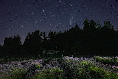 A comet visits a lavender farm in the middle of the night. San Juan Island, Washington. #CometNEOWISE
