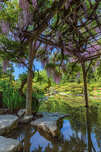 It's Wisteria season at Seattle Japanese Garden