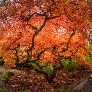 Japanese Maple - Kubota Garden, Seattle