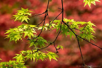 New maple leaves  - Seattle Japanese Garden.