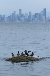 Some Harlequin Ducks enjoying their view of downtown Seattle this afternoon...