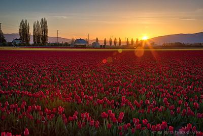 Tulip Sunrise