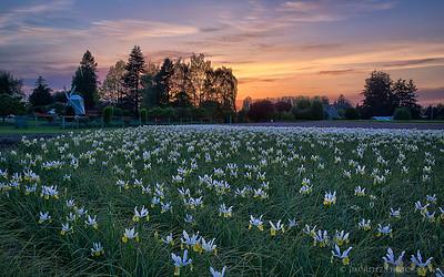 Sunset in the iris fields. Skagit County, Washington