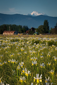 White iris fields with Mount Baker in the distance. Skagit County, Washington
