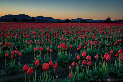 Tulip fields - Skagit Valley, Washington