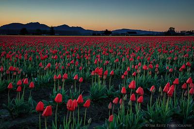 Tulip fields - Skagit Valley, Washington