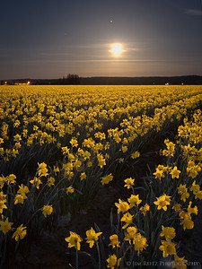 Daffodils by Moonlight