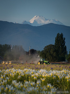 Iris fields - Skagit County, Washington
