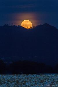 White Iris / Full Moon