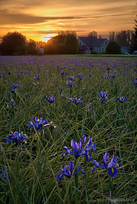 Sunset in the iris fields. Skagit County, Washington