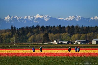 Tulip Pickers