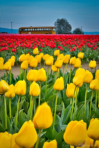 Skagit Valley Tulip Festival, near La Conner, Washington