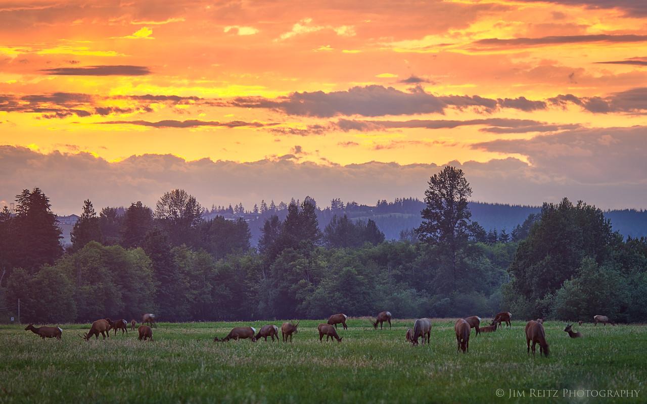 Elk herd at sunset near North Bend, Washington