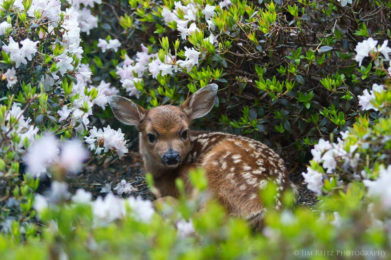 Newborn fawn in our front yard flower bed.