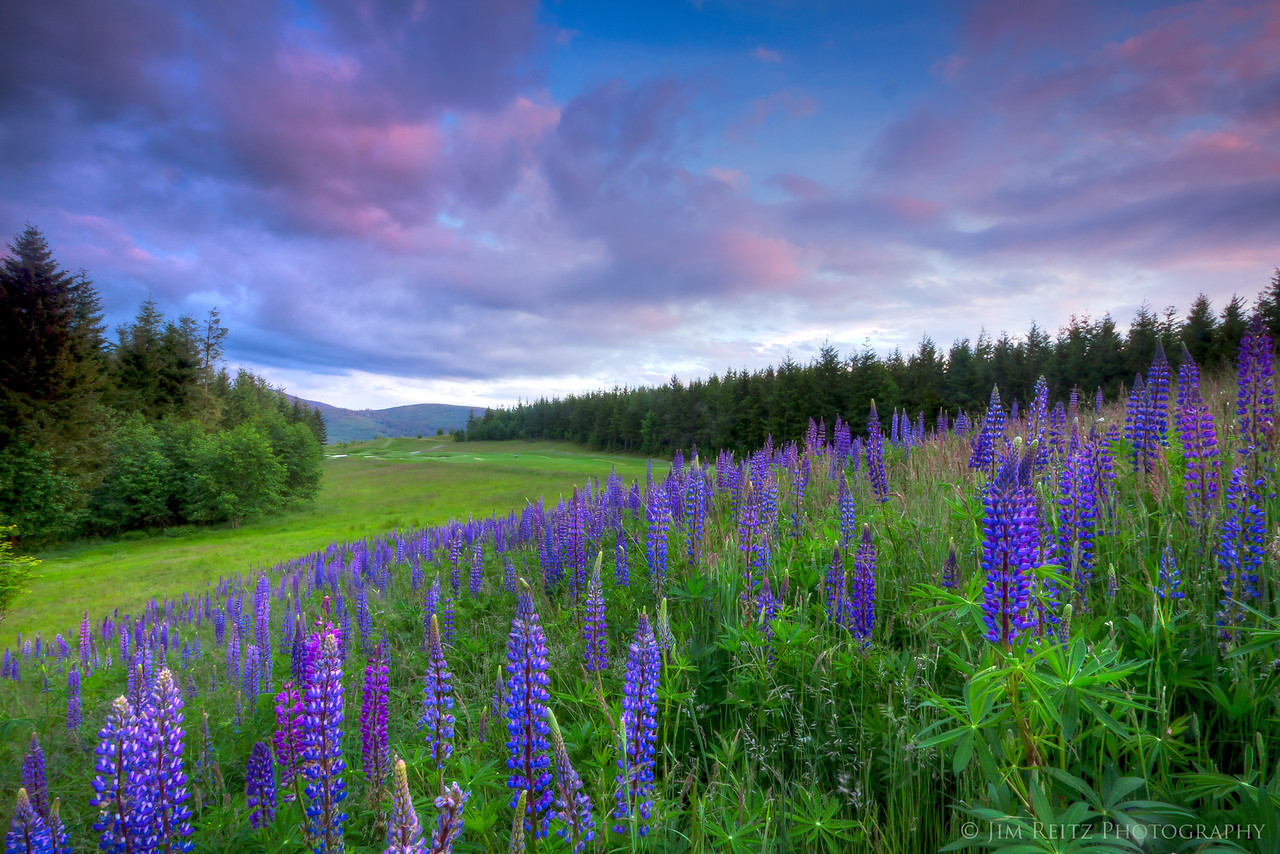 Lupines by TPC Snoqualmie Ridge, hole #12.
