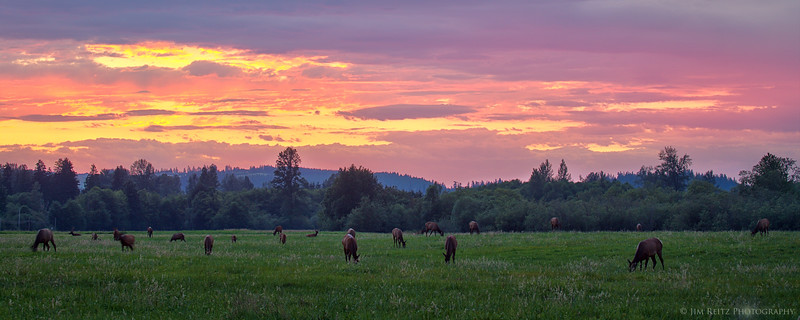 Elk herd at sunset near North Bend, Washington