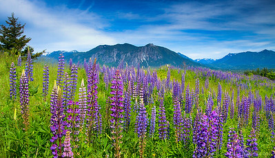 Mountain Lupine blooms in front of Mount Si.