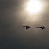 Tundra Swans, Bombay Hook National Wildlife Refuge