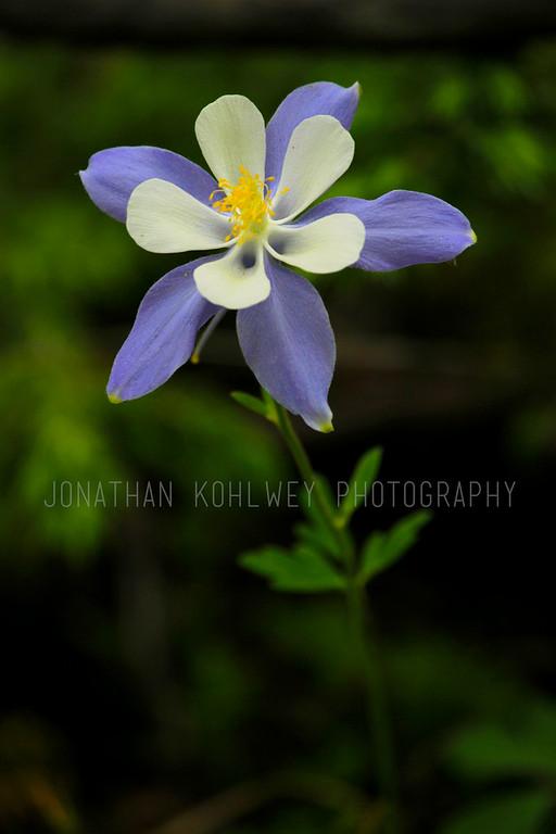 Columbine Flower in Granby, Colorado
