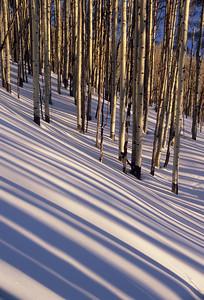 Aspen and shadows