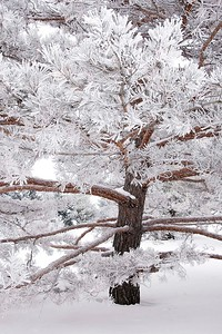 Frosted Tree at the Arboretum