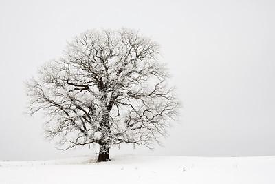 Solitary tree - overcast sky