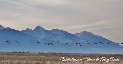 geese takeoff 1
