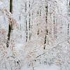 verschneiter Buchenwald, Jungbuchen mit trockenen Blättern mit Schnee beeckt, Naturpark Schönbuch, Baden-Württemberg,  Deutschland