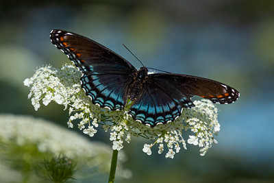Red-spotted Purple butterfly, southern Wisconsin