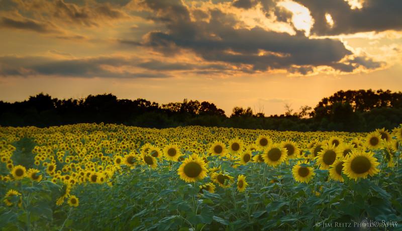 Sunflower fields near Fond du Lac, WI.