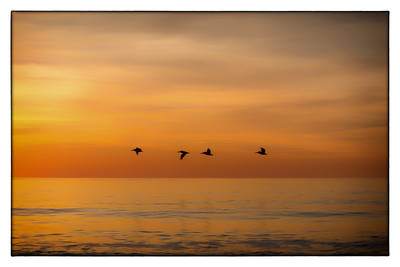 Pelicans At Dawn
