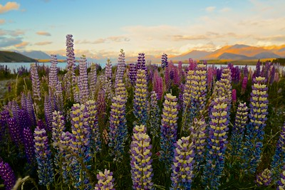 The Lupin ... Lake Tekapo
