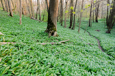 in the wild garlic path