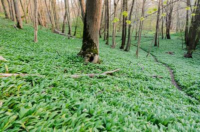 in the wild garlic path
