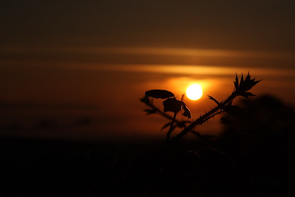 Bramble Sunrise