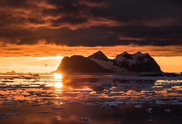 Kelp Gull and Jenny Island at midnight. Marguerite Bay, Antarctica