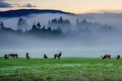 Elk Herd at Sunnymere Farm