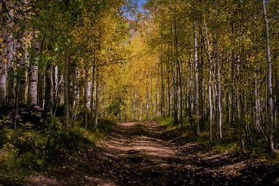 Road through an aspen grove